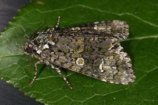 Craniophora ligustri - Liguster-Rindeneule, Falter Seite