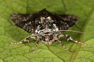 Craniophora ligustri - Liguster-Rindeneule, Falter im Portrait