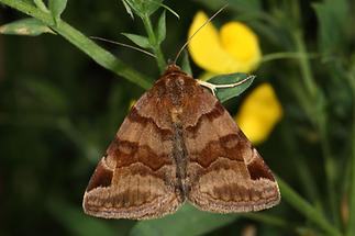 Euclidia glyphica - Braune Tageule, Falter Oberseite