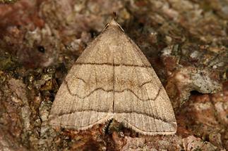 Herminia grisealis - Bogenlinien-Spannereule, Falter Oberseite