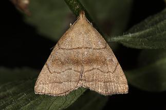 Herminia tarsicrinalis - Braungestreifte Spannereule, Falter Oberseite