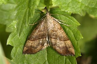 Hypena proboscidalis - Nessel-Schnabeleule, Falter Oberseite (1)