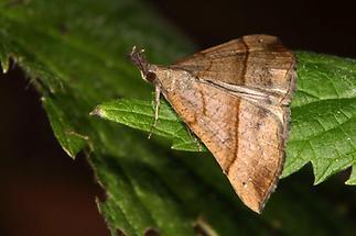 Hypena proboscidalis - Nessel-Schnabeleule, Falter Oberseite (2)