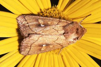 Mythimna conigera - Weißfleck-Graseule, Falter Oberseite