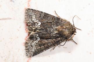 Oligia strigilis - Striegel-Halmeulchen, Falter Oberseite