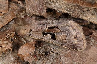 Orthosia gothica - Gothica-Kätzcheneule, Falter Seitenansicht