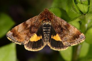 Panemeria tenebrata - Hornkraut-Tageulchen, Falter Oberseite