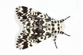 Panthea coenobita - Klosterfrau, Falter Lichtfang