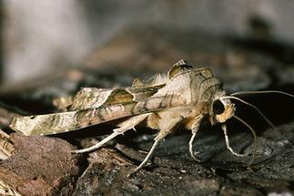 Phlogophora meticulosa - Achateule, Falter Seitenansicht