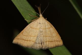 Polypogon tentacularia - Palpen-Spannereule, Falter Oberseite (2)