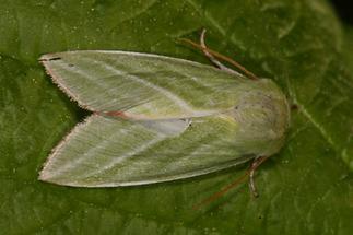 Pseudoips prasinana - Jägerhütchen, Buchenkahnspinner, Falter Oberseite