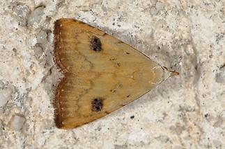 Rivula sericealis - Seideneulchen, Falter Oberseite
