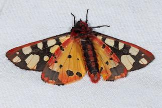 Arctia villica - Schwarzer Bär, Falter Unterseite, Lichtfang