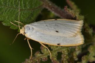 Cybosia mesomella - Elfenbein-Flechtenbärchen, Weibchen (1)