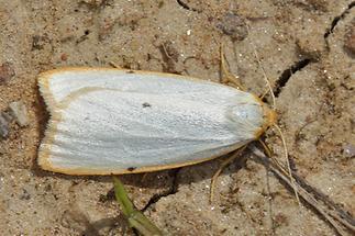 Cybosia mesomella - Elfenbein-Flechtenbärchen, Weibchen (2)