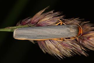 Eilema lurideola - Grauleib-Flechtenbärchen, Falter