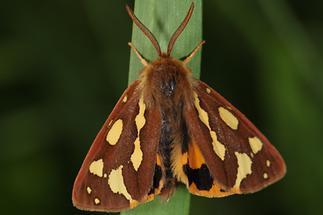 Hyphoraia aulica - Hofdame, Falter, Männchen