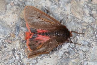 Phragmatobia fuliginosa - Zimtbär, Falter