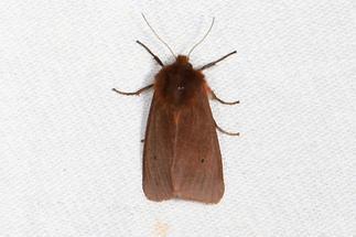 Phragmatobia fuliginosa - Zimtbär, Falter, Lichtfang