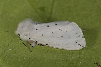Spilosoma lubricipeda - Breitflügeliger Fleckleibbär (2)