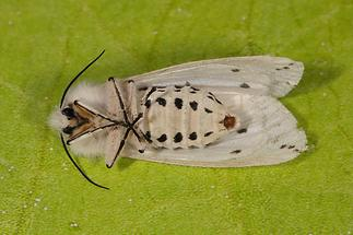 Spilosoma lubricipeda - Breitflügeliger Fleckleibbär (3)