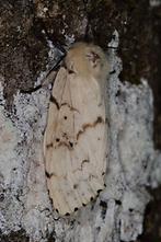 Lymantria dispar - Schwammspinner, Weibchen (2)
