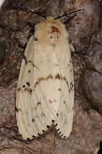 Lymantria dispar - Schwammspinner, Weibchen (3)