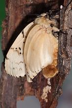 Lymantria dispar - Schwammspinner, Weibchen (5)