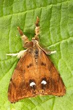Orgyia antiqua - Schlehen-Bürstenspinner, Männchen (1)