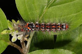 Sphrageidus similis - Schwan, Raupe (1)
