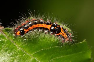 Sphrageidus similis - Schwan, Raupe (2)