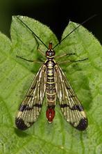 Panorpa communis - Gemeine Skorpionsfliege, Männchen (1)