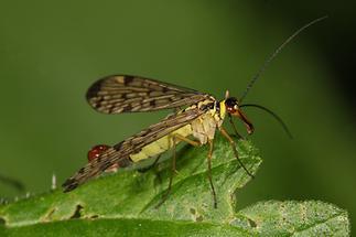 Panorpa communis - Gemeine Skorpionsfliege, Männchen (2)