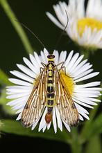 Panorpa germanica - Deutsche Skorpionsfliege, Männchen