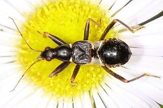 Nabis (Himacerus) mirmicoides - Ameisensichelwanze