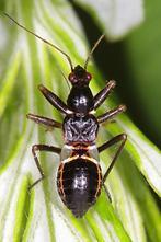 Nabis mirmicoides - Ameisensichelwanze, Larve