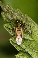 Adelphocoris lineolatus - Gemeine Zierwanze