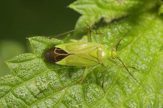 Calocoris affinis - Grüne Distelwanze (1)