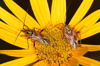 Calocoris roseomaculatus - Rotgefleckte Weichwanze, 2 Wanzen