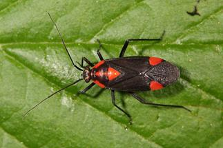 Capsodes flavomarginatus - kein dt. Name bekannt, Wanze auf Blatt
