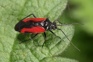 Dionconotus confluens - Auen-Weichwanze, Wanze auf Blatt
