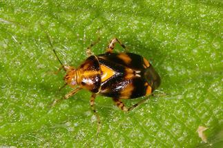 Liocoris tripustulatus - kein dt. Name bekannt