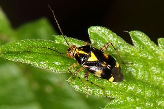 Liocoris tripustulatus - kein dt. Name bekannt, Wanze auf Blatt