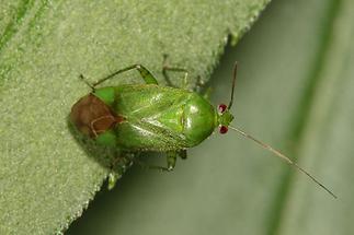 Lygochoris pabulinus - Grüne Futterwanze, Wanze auf Blatt