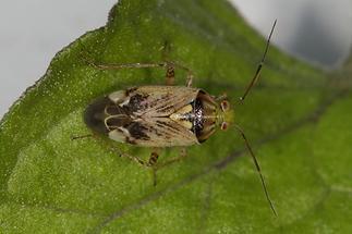 Lygus gemmatus - Beifuß-Weichwanze, Wanze auf Blatt