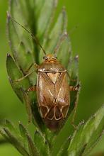 Lygus pratensis - Gemeine Wiesenwanze