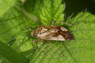 Lygus pratensis - Gemeine Wiesenwanze, Wanze auf Blatt (1)
