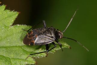 Polymerus nigrita - kein dt. Name bekannt, Wanze auf Blatt