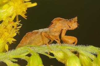 Phymata crassipes - Teufelchen, Wanze auf ...