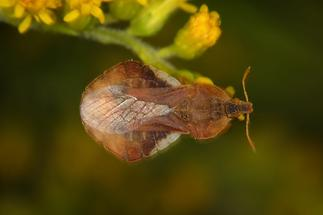 Phymata crassipes - Teufelchen, Wanze auf Blüte (1)
